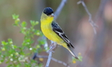 Lesser_Goldfinch_4.JPG