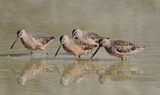 Long_billed_Dowitchers_43.JPG