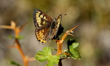 Lycaena_arota_shellbachi_Upperside--Bullion_Canyon2C_Paiute_County2C_UT_Sept_42C_2010.JPG
