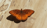 Male--Upperside--Junction_24_and_622C_Sevier_County2C_Utah2C_July_222C_2012.JPG