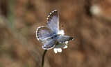 Male--Upperside--Koosharem_Canyon2C_Sevier_County2C_Utah2C_June_182C_2011.JPG