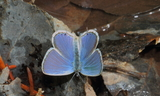 Male--Upperside_2--Lambs_Canyon2C_Summit_County2C_Utah2C_May_292C_2012.JPG