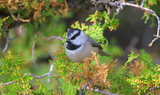 Mountain_Chickadee_80.JPG