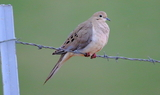 Mourning_dove_32.JPG