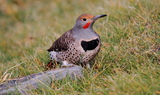 Northern_Flicker_25.JPG