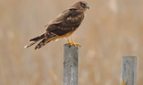 Northern_Harrier_Female_30.JPG