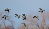 Northern_Pintail_Group_4.JPG