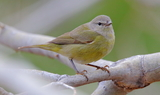Orange_crowned_warbler_54.JPG