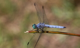 Pachydiplax_longipennis_28Blue_Dasher29--Leggett2C_California2C_July_262C_2011.JPG