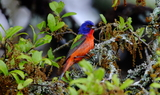 Painted_Bunting_2_Texas_42321.JPG