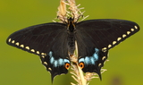 Papilio_indra_kaibabensis2C_Saddle_Mtn2C_Northern_Arizona2C_Kaibab_Plateau2C_Arizona_2921.JPG