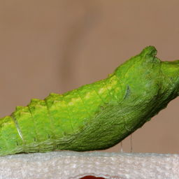 Pupa--Arizona2C_May_52C_2014.JPG
