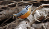 Red_Breasted_Nuthatch_39.JPG