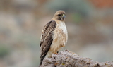 Red_Tailed_Hawk_22.JPG
