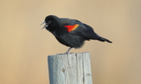 Red_winged_Blackbird_32.JPG