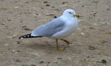 Ring_billed_Gull_43.JPG