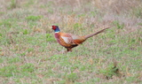 Ring_necked_Pheasant_88.JPG