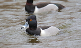 Ring_necked_duck_90.JPG