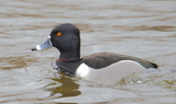 Ring_necked_duck_91.JPG