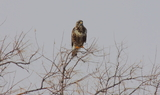 Rough_legged_Hawk_62.JPG