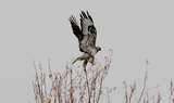 Rough_legged_Hawk_81.JPG