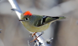 Ruby_crowned_Kinglet.JPG
