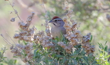 Rufous-crowned_Sparrow.JPG