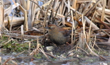 Rusty_Blackbird_90.JPG