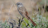 Sagebrush_Sparrow_8.JPG