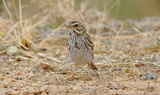 Savannah_Sparrow_2.JPG