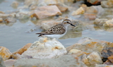 Semipalmated_or_Western_Sandpiper_17.JPG