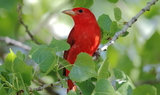 Summer_Tanager_2.JPG