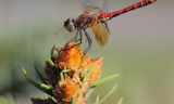 Sympetrum_semicinctum_28Band-Winged_Meadowhawk29--Farmington_Canyon2C_Farmington2C_Davis_County2C_Utah2C_August_102C_2011.JPG