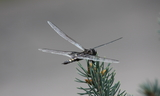 Tramea_lacerata_28Black_Saddlebags29--Farmington_Canyon2C_Farmington2C_Davis_County2C_Utah2C_August_82C_2010.JPG