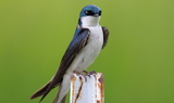 Tree_Swallow_84.JPG