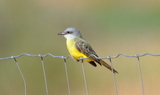 Tropical_Kingbird_1.JPG