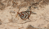 Underside_Female--Northside_of_Highway_402C_Between_Roosevelt_to_Vernal2C_Uintah_County2C_Utah2C_May_112C_2013.JPG