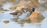 Western_Sandpiper_and_Sanderling_88.JPG