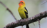 Western_Tanager_76.JPG