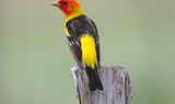 Western_Tanager_99.JPG