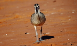 Whimbrel_65_Sand_Hollow_SP2C_Utah_91420.JPG