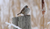 White-crowned_sparrow_98.JPG