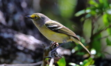 White-eyed_Vireo_3_Texas_42521.JPG