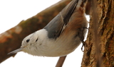 White_breasted_Nuthatch_45.JPG