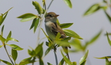 Willow_Flycatcher_40.JPG