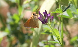 Woodland_Skipper2.JPG