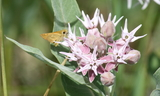 Woodland_Skipper_8x10.JPG