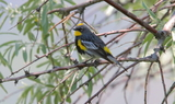Yellow_rumped_Warbler_Male_71.JPG