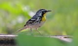 Yellow_throted_Warbler_Texas_42421.JPG