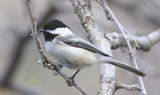 black_capped_chickadee.JPG
